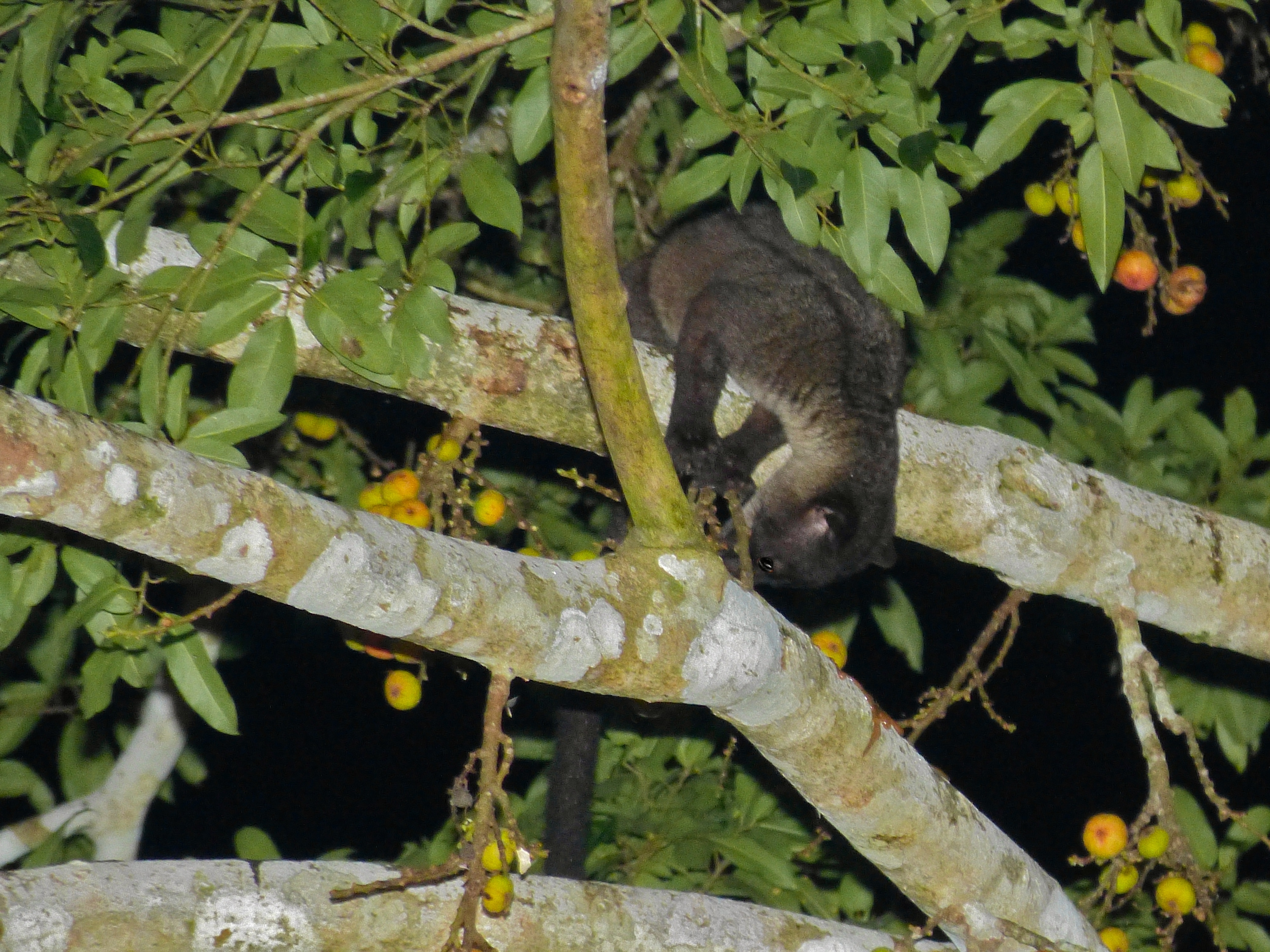 Image of Small-toothed Palm Civet