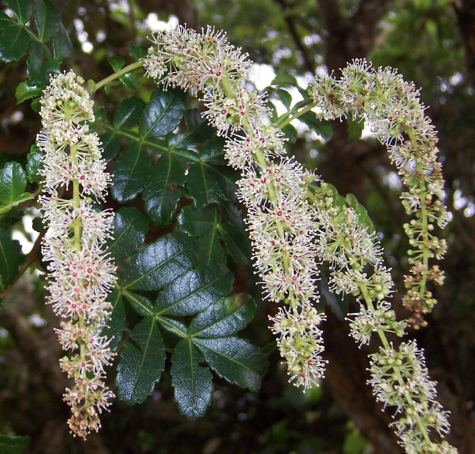 Image of <i>Weinmannia tinctoria</i>