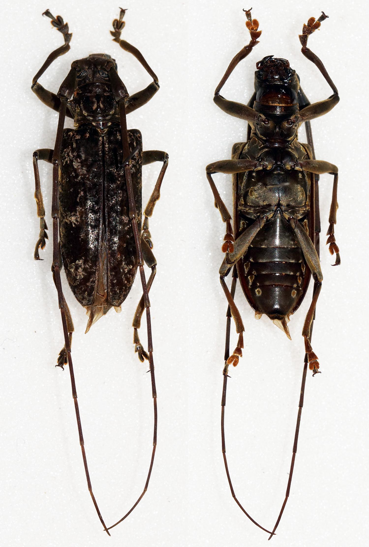 Image of <i>Acalolepta fuscosericea</i> (Schwarzer 1931)