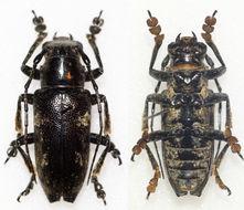 Image of <i>Abryna grisescens</i> Breuning 1938