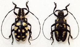 Image of <i>Agnia pulchra</i> Aurivillius 1891