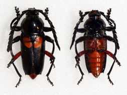 Image of <i>Lissonotus ephippiatus</i> Bates 1870