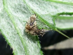 Image of spear thistle lacebug