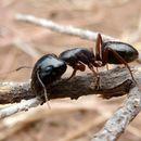 Image of <i>Camponotus empedocles</i> Emery 1920