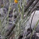 Image of <i>Senecio chilensis</i> Less.