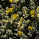 Image of Echinospartum