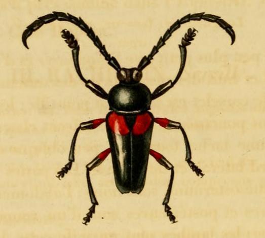 Image of <i>Lissonotus unifasciatus</i> Gory 1831