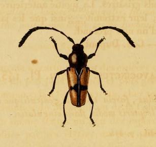 Image of <i>Lissonotus cruciatus</i> Dupont 1836