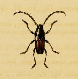 Image of <i>Lissonotus spadiceus</i> Dalman 1823