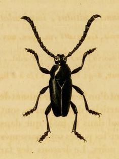 Image of <i>Lissonotus flabellicornis</i> (Germar 1824)
