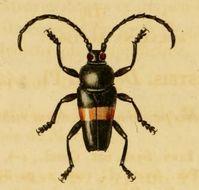 Image of <i>Lissonotus equestris</i> (Fabricius 1787)