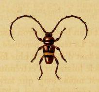 Image of <i>Lissonotus flavocinctus</i> Dupont 1836