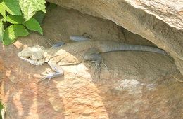 Image of Kashmir Rock Agama