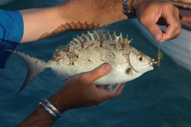 Image of African white-spotted rabbitfish