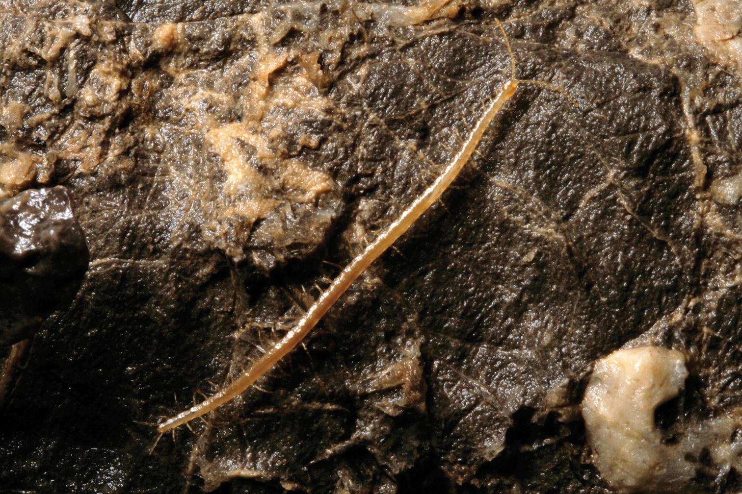 Image of <i>Geophilus hadesi</i>