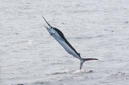 Image of Marlin