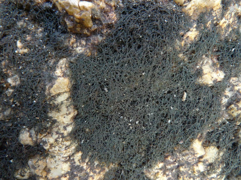 Слика од Lichinaceae