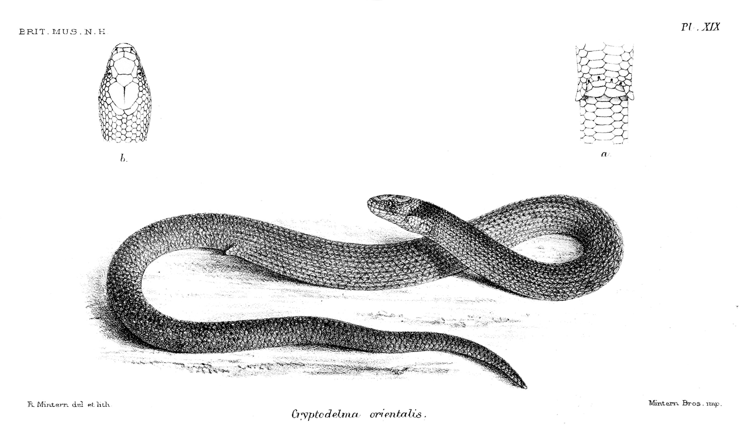Image of Brigalow Scaly-foot