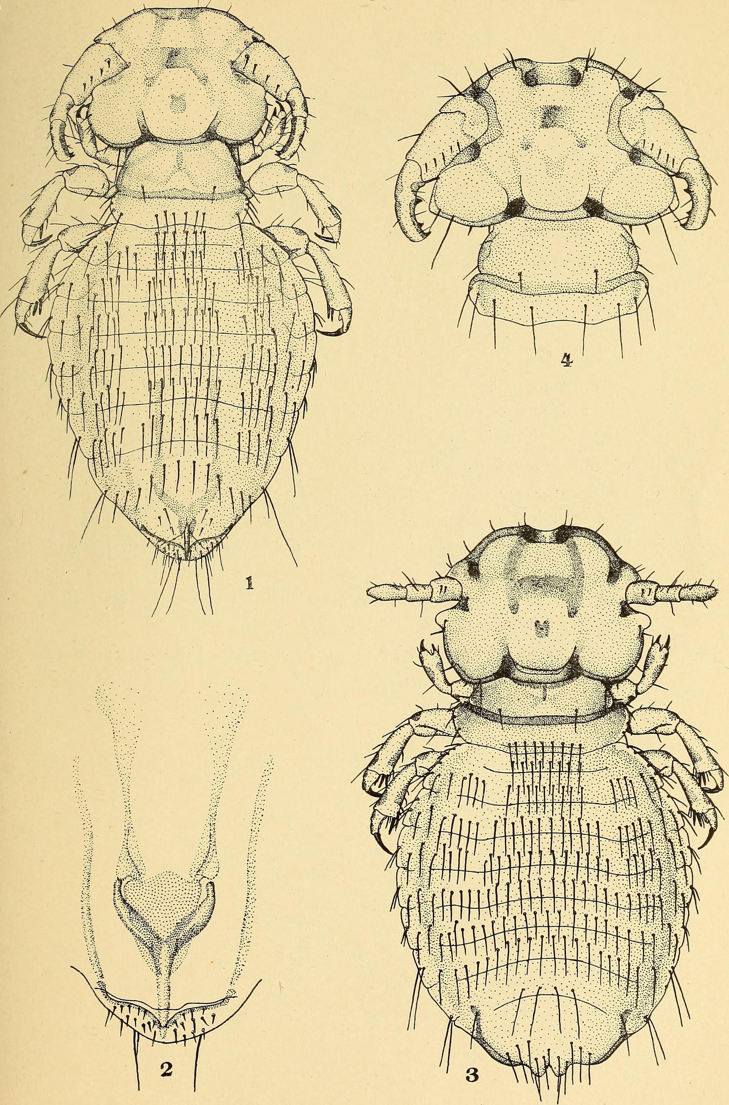 Image of Anoplura