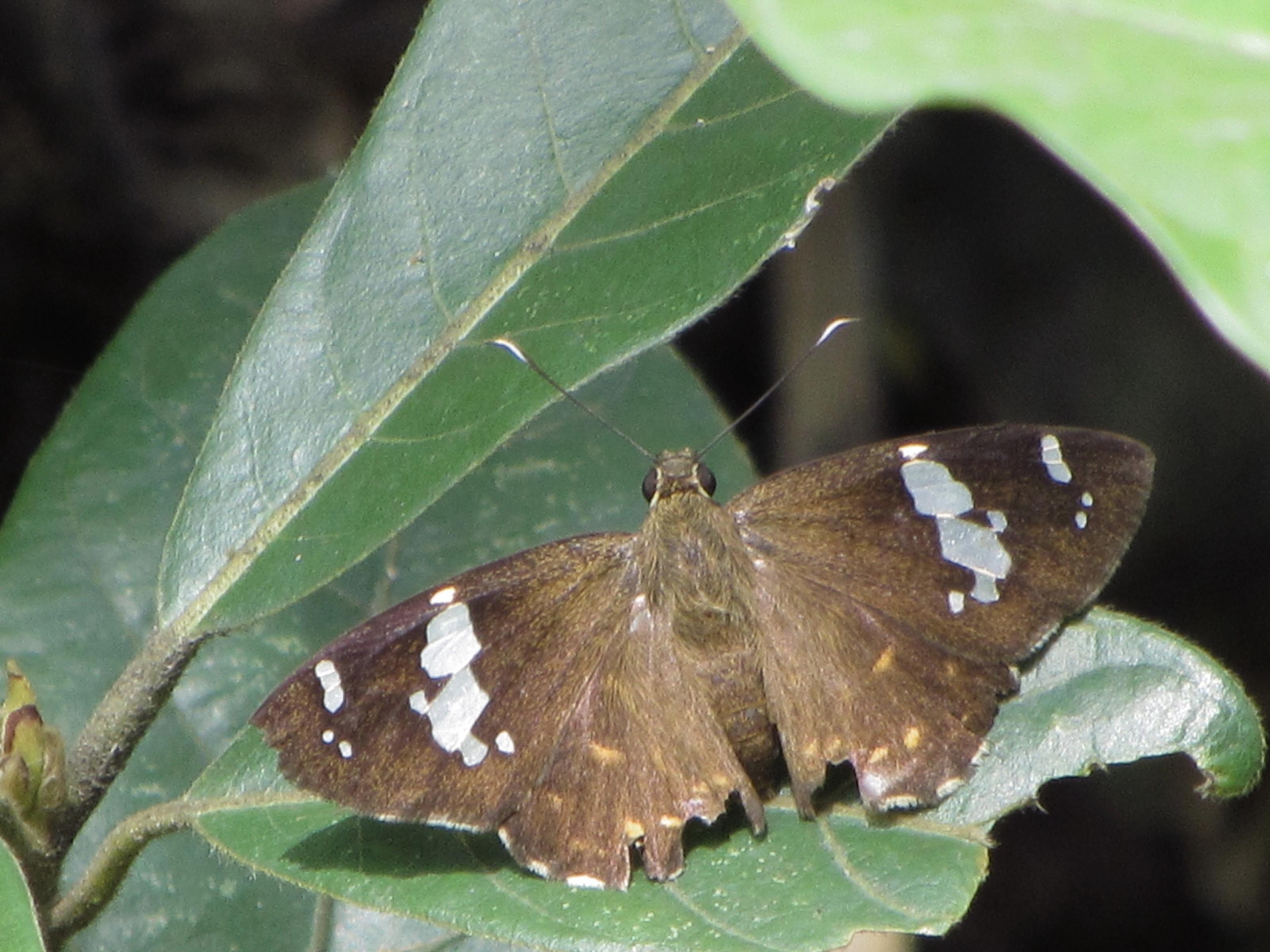 Image of <i>Celaenorrhinus leucocera</i> Kollar 1848