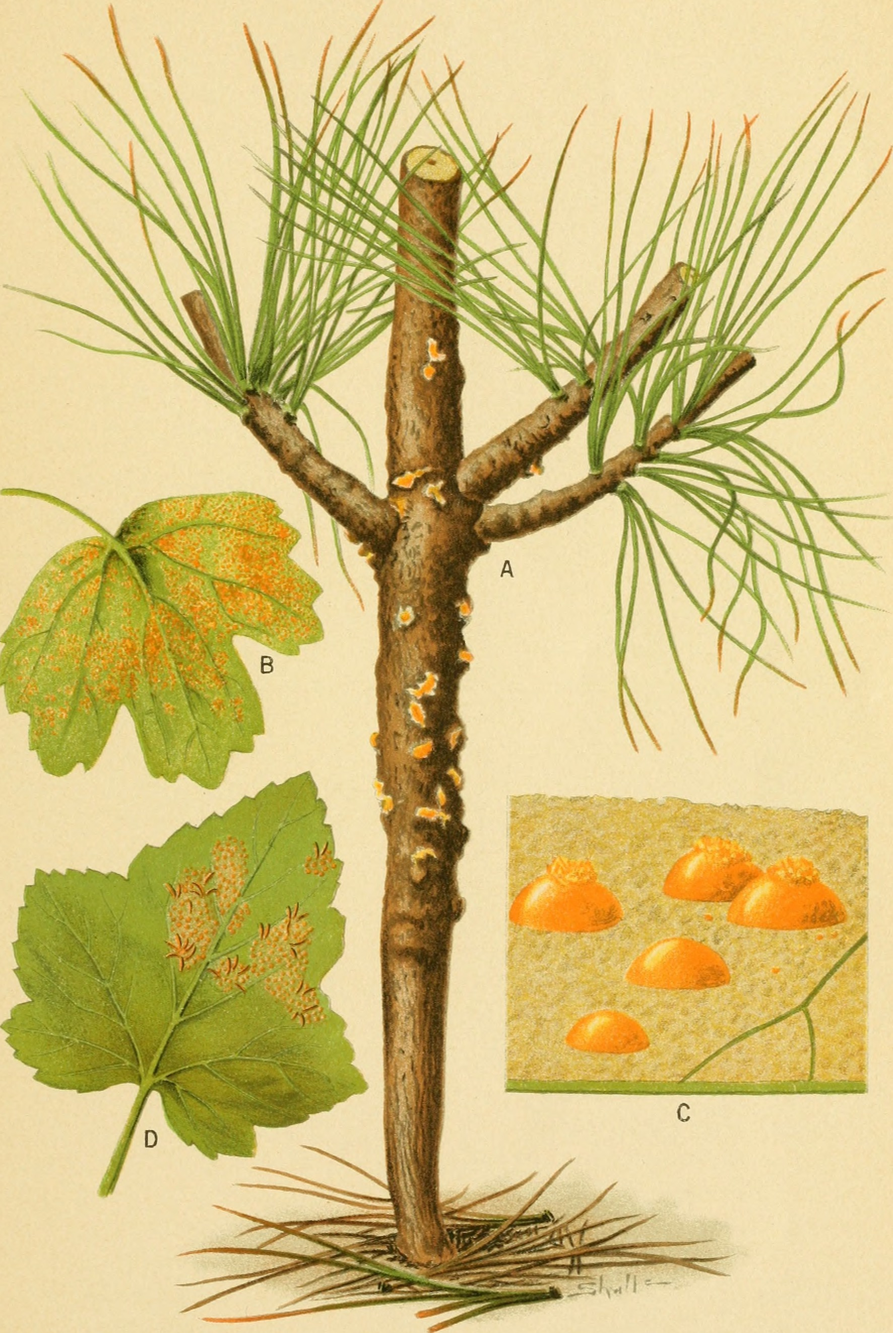 Image of White-pine blister rust