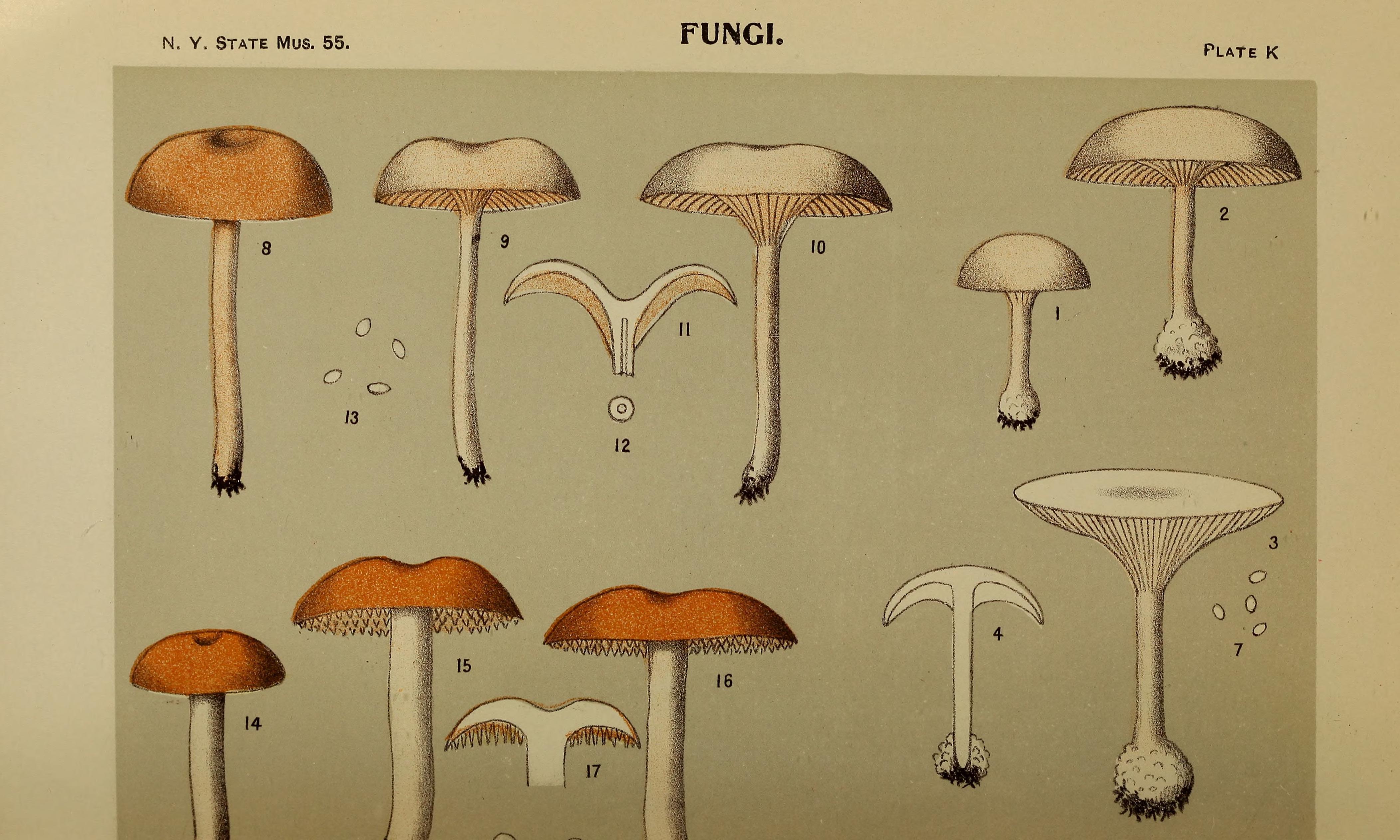 Image of <i>Hydnum umbilicatum</i> Peck 1902