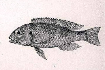 Image of Spangled Cichlid