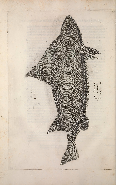 Image of Oxynotus