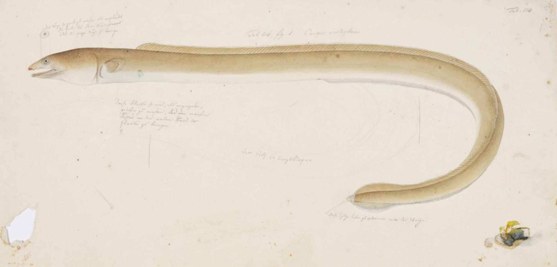 Image of Manetail snake eel