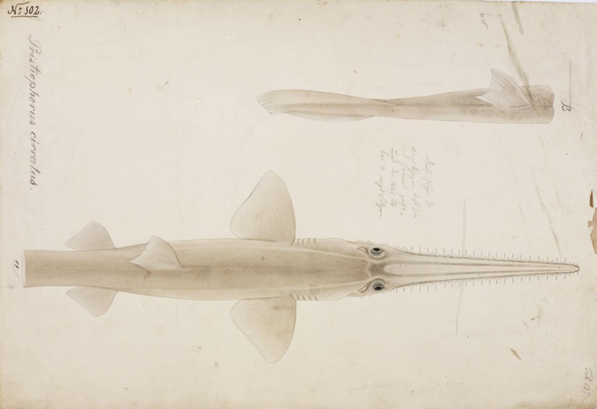 Image of <i>Pristiophorus japonicus</i> Günther 1870