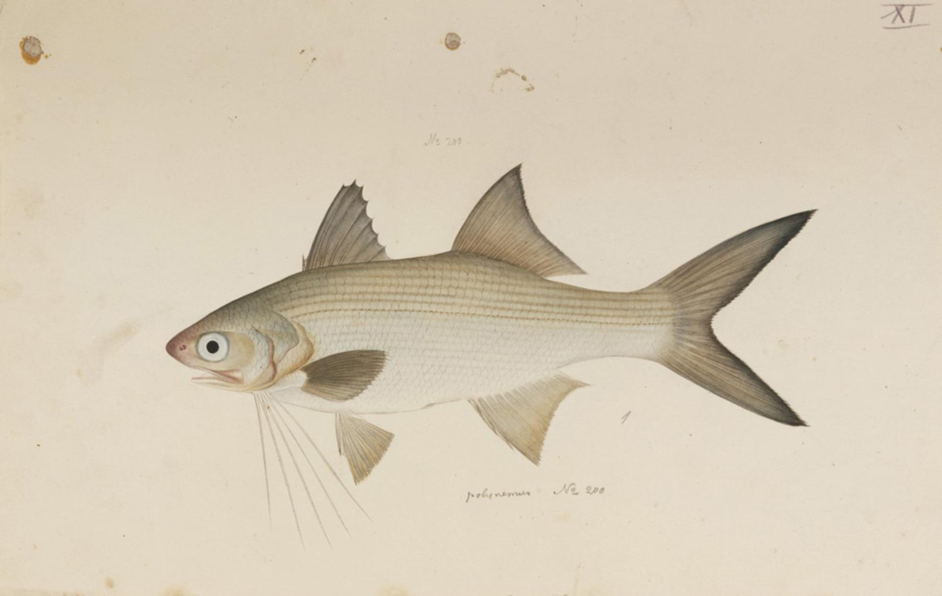 Image of striped threadfin