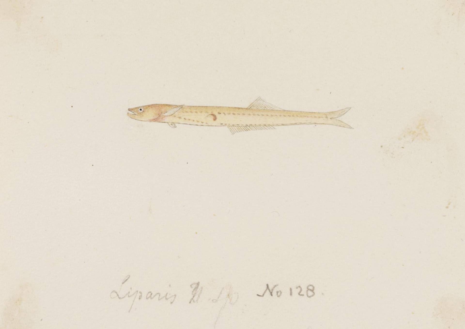 Image of Salanx