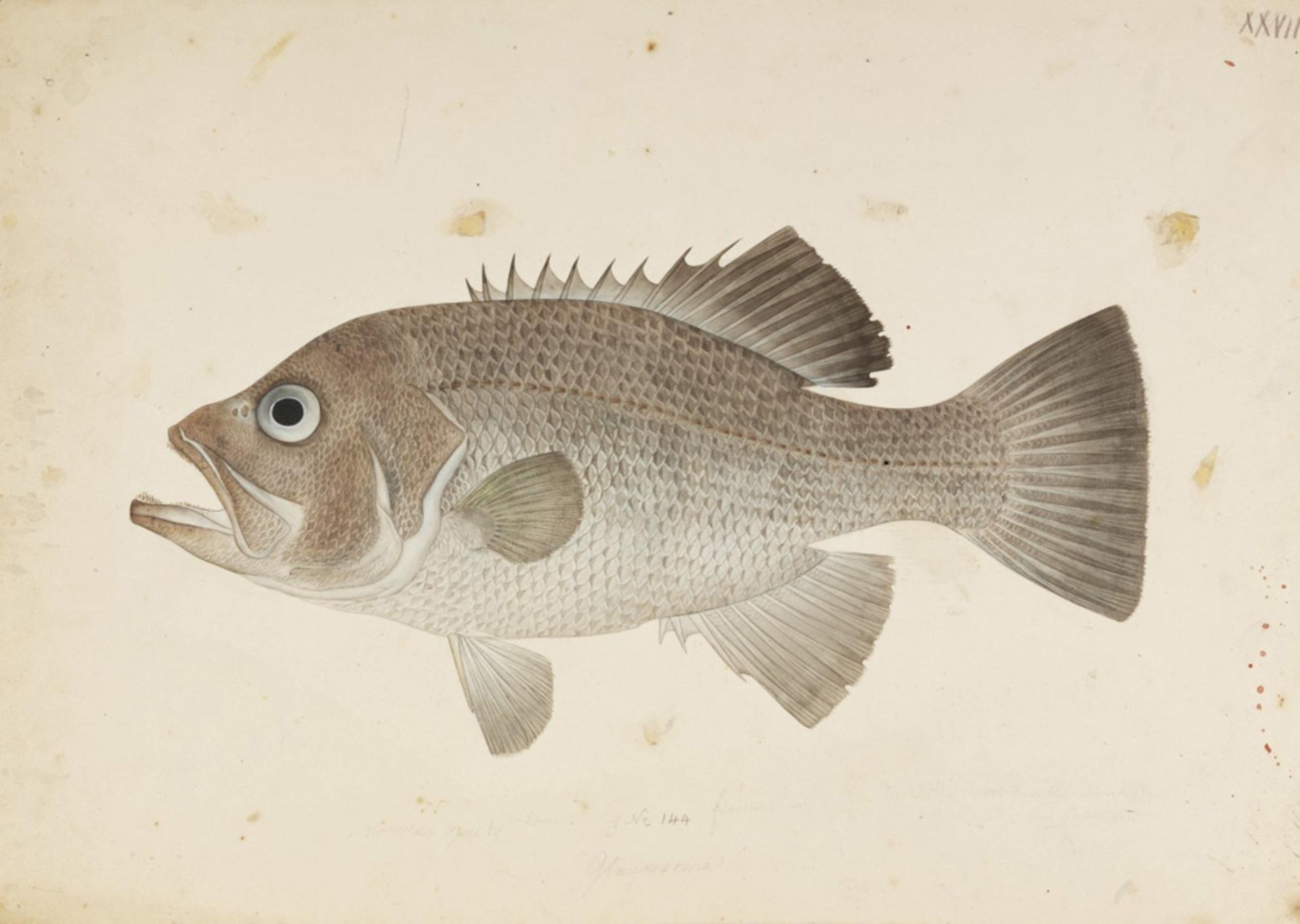 Image of <i>Glaucosoma hebraicum</i> Richardson 1845