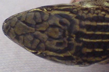 Image of Eastern Three-lined Skink