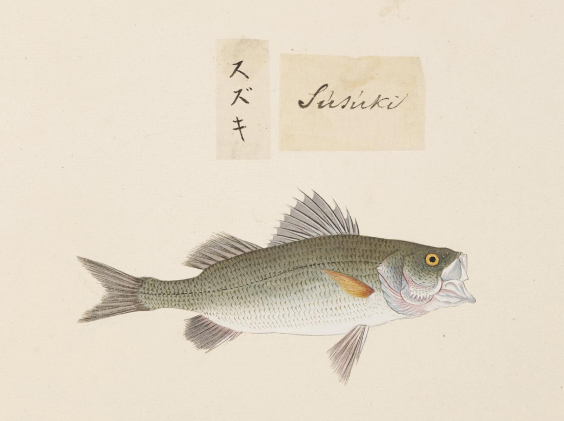 Image of Japanese seebass
