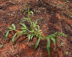 Image of signalgrass