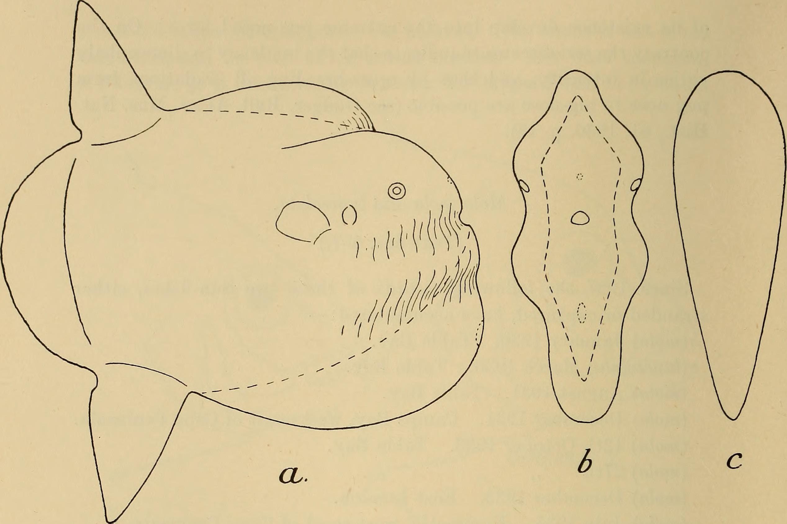 Image of Sharpfin Sunfish