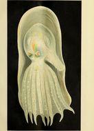 Image of Telescope octopus