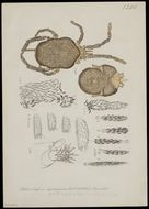 Image of Leptus Latreille 1796