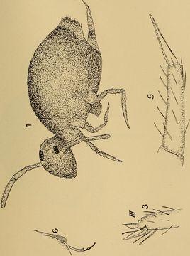 Image of Sminthurinus