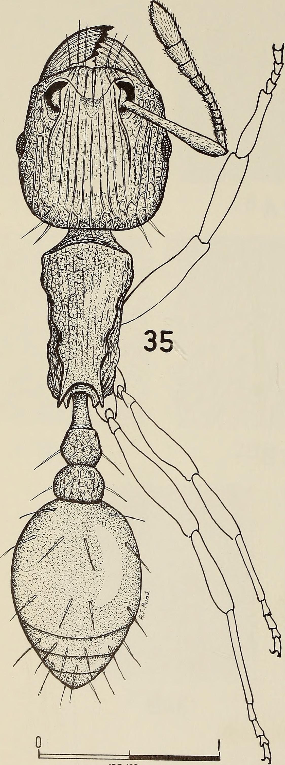 Image of Tetramorium
