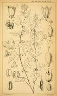 Image of <i>Acharia tragodes</i> Thunb.