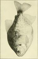 Image of <i>Piaractus mesopotamicus</i> (Holmberg 1887)