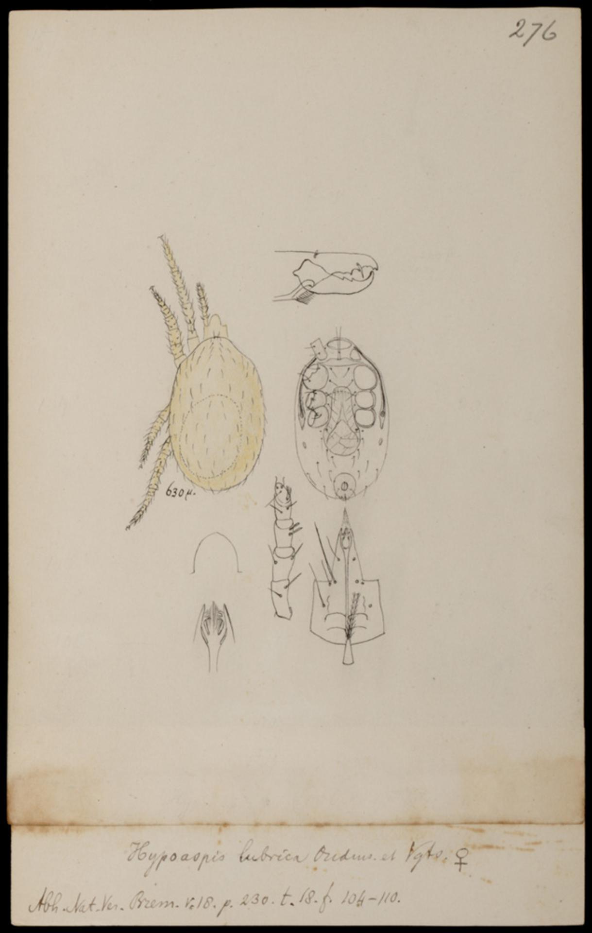 Image of Hypoaspis