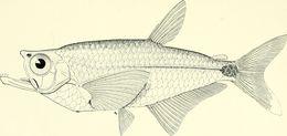 Image of <i>Gnathocharax steindachneri</i> Fowler 1913