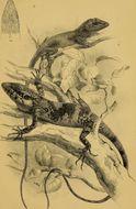 Image of Kakhyen Hills Spiny Lizard