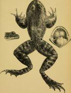 Image of Kakhien Paa Frog