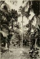 Image of Hydriastele