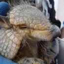 Image of hairy armadillo