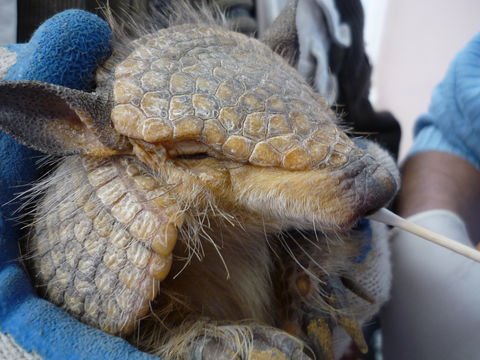 Image of Andean Hairy Armadillo
